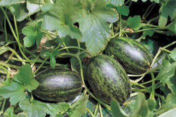 One watermelon vine can yield up to four melons.