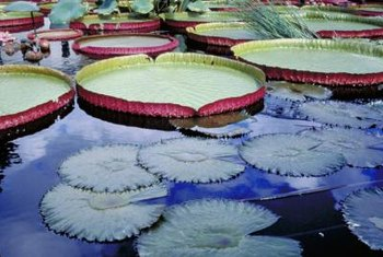 Densely packed lily pads may crowd out other plants.