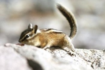 How to Rid the Yard of a Chipmunk Colony Home Guides SF Gate