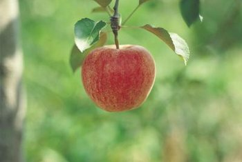 Worms in apples are difficult to spot from the exterior of the fruit.