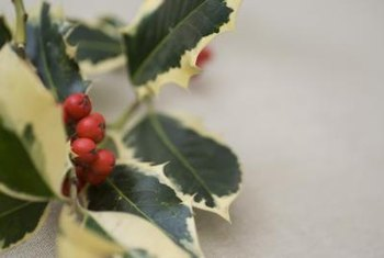 Variegated English holly pleases both indoors and out.