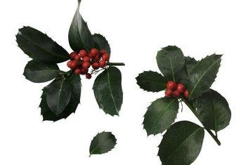 Berries, like those of the holly plant, are toxic when ingested.