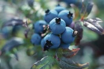 Blueberry leaves turn yellow if soils are too alkaline.