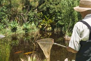 Use a net to safely scoop the fish out of the pond before repairing.
