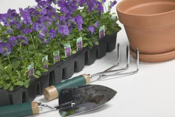 Unglazed clay pots need watering frequently to keep pansies hydrated and upright.