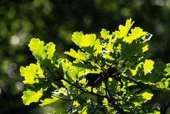 Like other members of the white oak family, overcup oak leaves have rounded lobes.