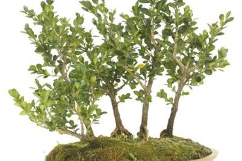 Boxwood bonsai needs regular attention to look its best.