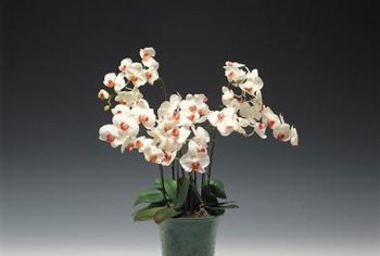 Orchids are extremely sensitive to prolonged periods of excess moisture.