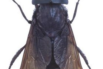 Horseflies are considerably larger than houseflies.
