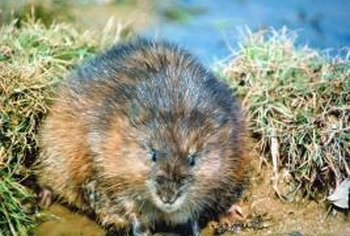 Muskrats scent-mark territory with a musky odor secreted by tail glands.
