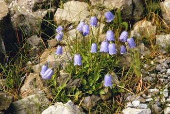 Though not exclusively native to Scotland, Scottish bluebell has long been in the local lore.