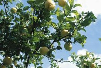 Lack of natural rainfall requires an irrigation system for a successful fruiting lemon tree.