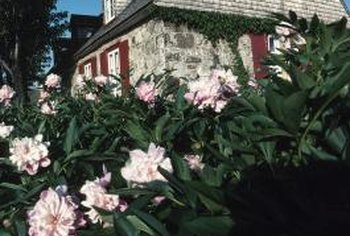 Meeting the nutrient requirements of peonies will help ensure the plants have many blooms.