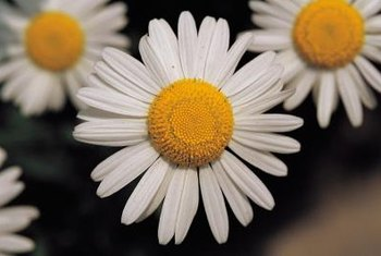 Shasta daisies attract bugs that eat bagworms.