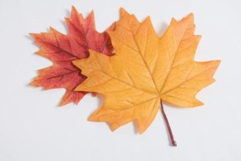 Maple trees are famous for their colorful leaves.
