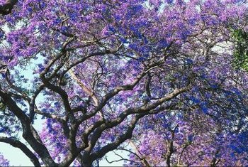 Jacaranda trees in bloom are an eye-catching sight in yards or along boulevards.