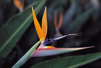 A mature bird of paradise plant can have three dozen flower stalks.
