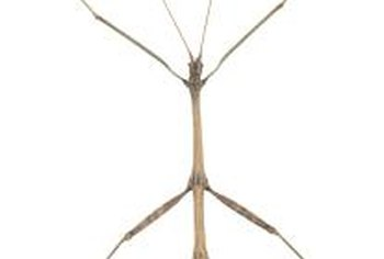 Stick bugs do not hurt people and are often kept as pets.