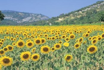 Many sunflower species tolerate heat and clay soils.