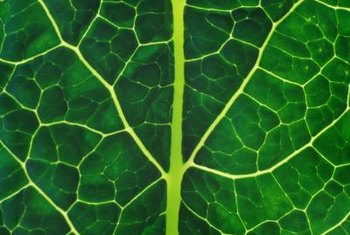 Large, leafy dinosaur kale is rich in potassium and Vitamin A.