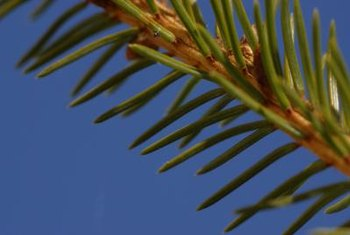 Spruce trees are popular as windbreaks, screens and specimen trees.