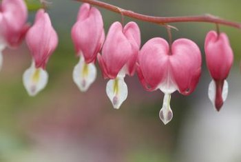 Classic bleeding heart blossoms hang like heart-shaped lockets.