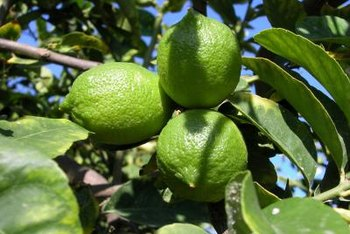 Grow limes in the sunniest location in your garden.