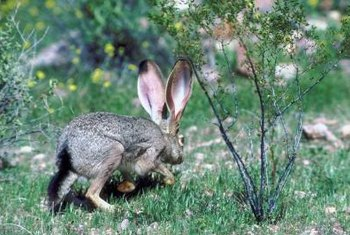 Tree bark is a favored food of jackrabbits and cottontail rabbits.