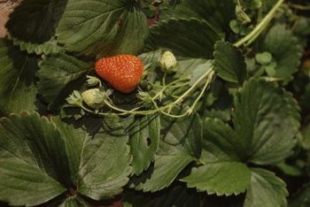 In addition to adding calcium to strawberry beds, gypsum lightens heavy clay soils.