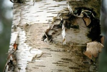 Peeling bark is normal for some trees, like birch, but can indicate a problem in fruit trees.