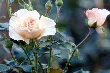 Rose bushes add simple elegance to a garden.