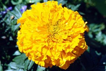 """Giant Yellow"" has full, many-petaled blooms."