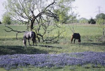 Bluebonnets are known by several other names.