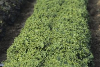In some regions, kale is a year-round crop.