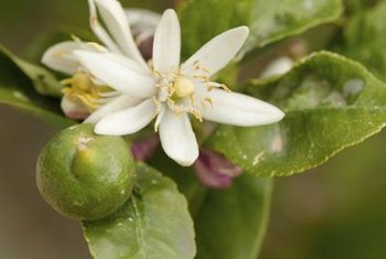 Many lemon tree varieties have fragrant blossoms.