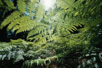 Tree ferns are slow growers, gaining only about 1 inch in height per year.