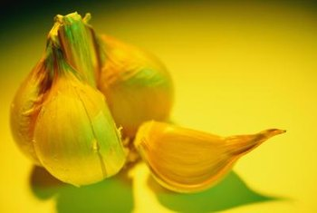 An elephant garlic bulb has five to six cloves.