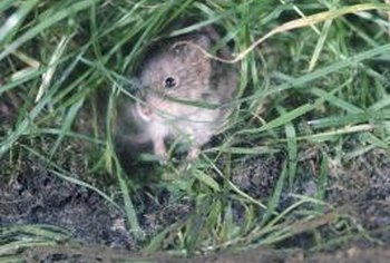 Voles tunnel through grass, damaging lawns.
