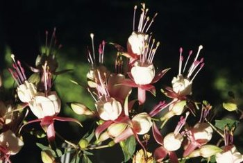 Fuchsias usually are bicolored in shades of pink and red.