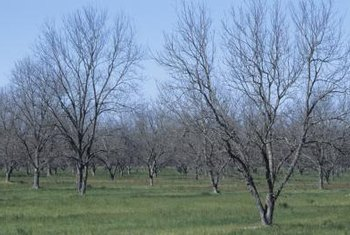 Pecan tree orchards are strategically spaced.