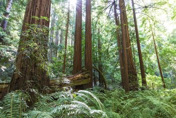 A mature coast redwood may grow 350 feet tall in its natural habitat.