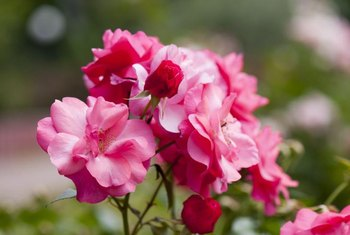 Except for very large varieties, roses thrive when grown in pots.