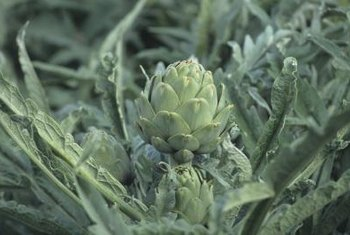Artichoke plants grow to a height of 3 to 4 feet.
