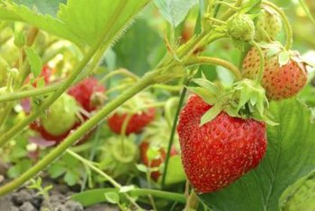When fertilizing strawberries, timing matters.