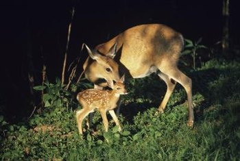 Deer can destroy your flowering bulbs while visiting your garden.
