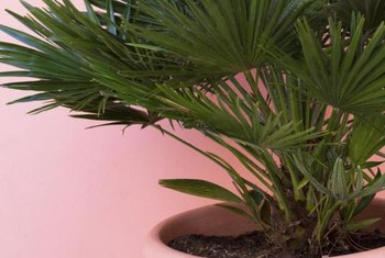 Paint the palm's pot to match the patio for a seamless look.