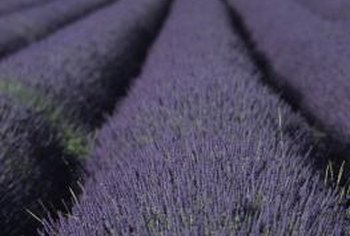 Lavender is a popular aromatic plant well suited to hot, dry growing climates.