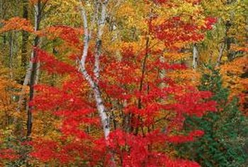 Maple trees show bright colors each autumn.