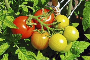 Cherry tomatoes form clusters of small fruits at branch ends.