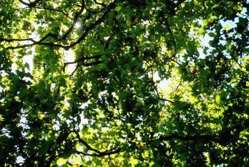 An oak tree's lush canopy casts dappled shade in your backyard.